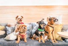 Vier lustige nette Hundeex verlassene Obdachlose, die von den guten Leuten angenommen werden und Spaß auf den Kissen im Geschäft  stockfoto