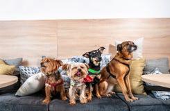 Vier lustige nette Hundeex verlassene Obdachlose, die von den guten Leuten angenommen werden und Spaß auf den Kissen im Geschäft  lizenzfreies stockfoto