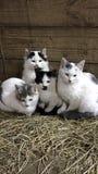 Vier Miezekatzen lizenzfreie stockbilder