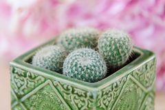 Vier minicactussen in pot stock foto's