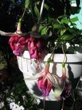 Vier Mooie Bloemen van Fuchsiakleurig David Lockyer Royalty-vrije Stock Fotografie