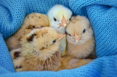 Vier mooie nieuw - geboren kippen Royalty-vrije Stock Afbeelding