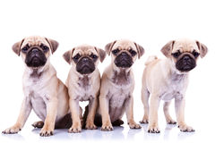 Vier Moppwelpenhunde Lizenzfreie Stockfotografie