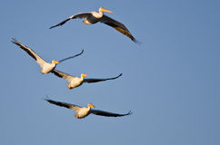 Vier Nashornpelikane, die in einen blauen Himmel fliegen Stockfotos