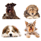 Vier nette Welpenhunde auf weißem Hintergrund Lizenzfreie Stockfotos