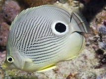 Vier Oog Butterflyfish Stock Foto's