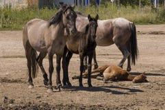 Vier paarden lopen Zandweg op het gebied met bomen ver weg travelling stock afbeelding