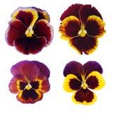 Vier pansies Royalty-vrije Stock Afbeeldingen