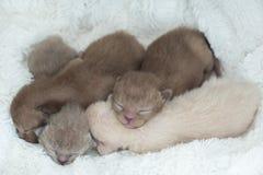 Vier pasgeboren katjes Birmaans ras op de bontdraagstoel stock foto