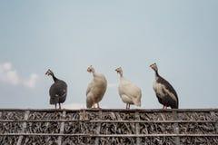 Vier Perlhühner, die auf der Dachspitze kühlen Stockfotos