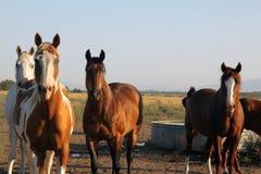 Vier Pferde Lizenzfreie Stockfotos