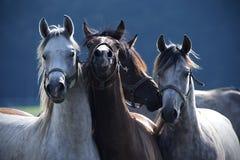 Vier Pferdehaltung für ein Foto Lizenzfreie Stockfotografie