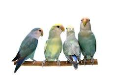 Vier Pfirsich-gegenübergestellte Lovebirds getrennt auf Weiß Stockbilder
