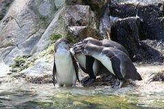 Vier pinguïnen die een vergadering hebben Stock Afbeeldingen