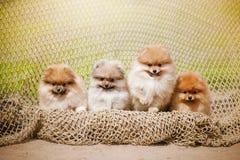 Vier Pomeranian Welpe Spitz, der die Kamera betrachtet Lizenzfreie Stockfotografie