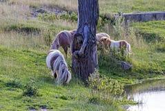 Vier poneys op de weide Royalty-vrije Stock Afbeelding