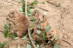 Vier prairiehonden die bladeren eten Stock Foto