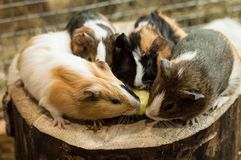 Vier proefkonijnen die een vrede van komkommer eten Stock Afbeeldingen