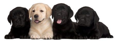 Vier puppy van Labrador, 7 weken oud Stock Fotografie