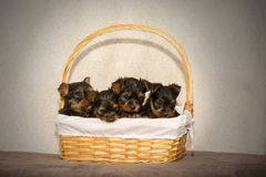 Vier puppy van Yorkshire Terrier in een wicketmand stock foto's