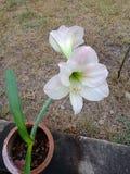 Vier richtingen Apocyanaceae enkel zoals knoflook, witte gember, kalk, rode linzen, ui en ui Royalty-vrije Stock Foto's