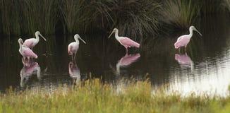 Vier rosa rosa Spoonbill-watende Vögel bevölkern Georgia Swamp Stockfoto