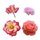 Vier Rosen stockfoto