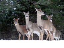 Vier Rotwild auf die Oberseite eines Berges im Schnee lizenzfreie stockfotografie
