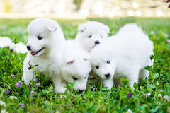 Vier Samoyed puppy in openlucht in de zomer Stock Foto