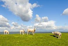 Vier Schafe auf einem Graben nahe bei einer niederländischen Mündung Stockbild