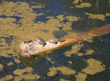 Vier Schildkröten, die auf einem Klotz sich sonnen stockbild