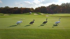 Vier Schwäne auf dem Feld für ein Golf Stockbild