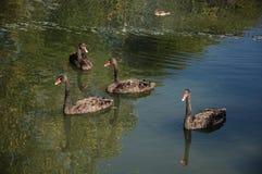 Vier schwarze Schwäne auf einem grünen See Stockfotos