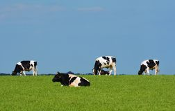 Vier Schwarzweiss-Kühe gegen blauen Himmel Stockbilder