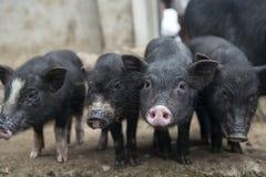 Vier Schweine Lizenzfreie Stockfotos