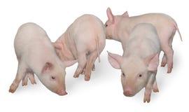 Vier Schweine Lizenzfreie Stockfotografie