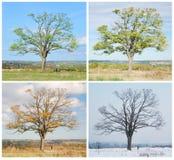 Vier seizoenenboom Stock Afbeelding
