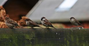 Vier Spatzen auf Zaun stockfotos