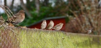 Vier Spatzen und eine Drossel auf einem Gartenzaun stockfoto