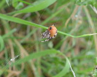 Vier-Stellenkugelweber oder Araneus quadratus stockfoto