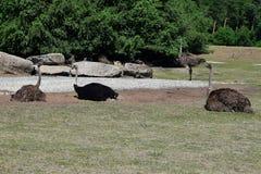 Vier struisvogels het rusten Royalty-vrije Stock Foto's