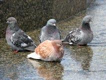 Vier Tauben, die Nahaufnahme sitzen. Stockfotografie