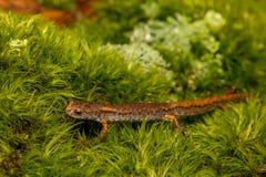 Vier-Toed Salamander stock afbeelding