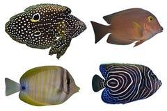 Vier Tropische geïsoleerdee Vissen royalty-vrije stock afbeelding
