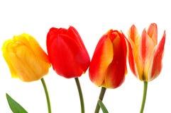 Vier tulpen Royalty-vrije Stock Foto