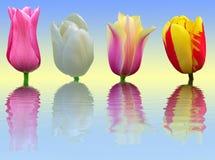 Vier tulpen op blauwe en gele achtergrond Stock Foto's