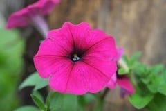 Vier-Uhr Blume. Stockfotografie