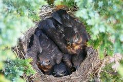 Vier Umarmungsvögel im Nest, das Kamera betrachtet Stockbild