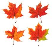 Vier Varianten des gleichen Ahornblatts Stockfoto