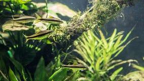 Vier Vissen die van Blackline Rasbora tussen de algen zwemmen stock fotografie